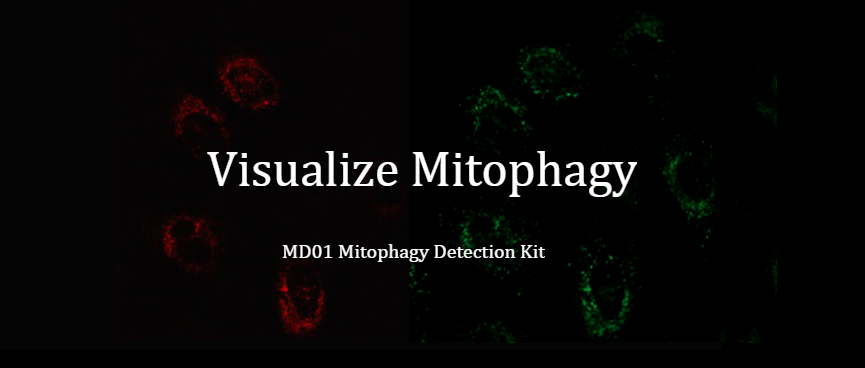 Mitophagy Detection Kit