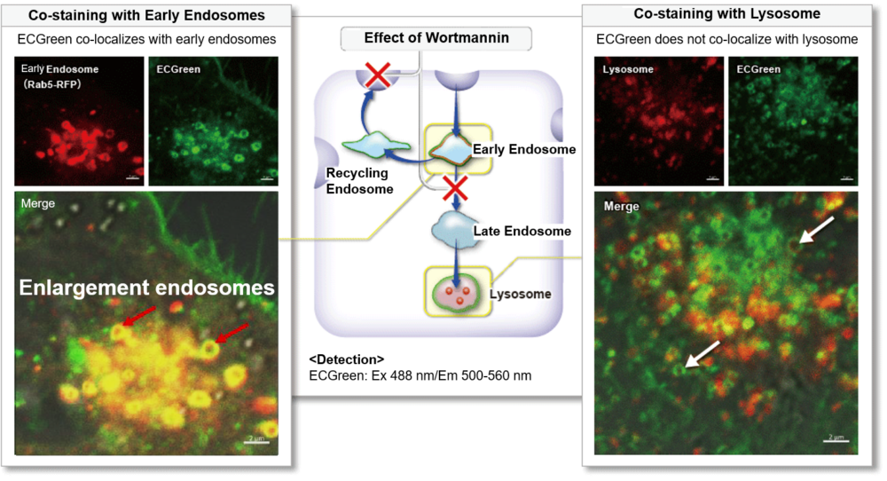 In adding wortmannin, ECGreen was colocalized with endosomes, it wasn't colocalized with lysosomes